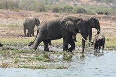 Elefantes novos e velhos no canal de Kazinga, Uganda imagens de stock royalty free