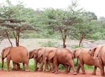 Elefantes novos que andam em uma linha Fotografia de Stock