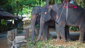 Elefantes para el safari que comen las hojas del bastón en la granja en la selva almacen de metraje de vídeo