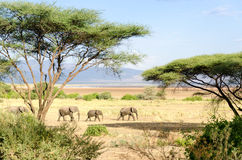 Elefantes, parque nacional de Manyara do lago Foto de Stock Royalty Free