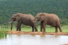 Elefantes, parque nacional del elefante de Addo, Suráfrica fotografía de archivo libre de regalías