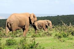 Elefantes, parque nacional del elefante de Addo, Suráfrica foto de archivo