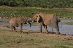 Elefantes por el agua-bloqueo Imagenes de archivo