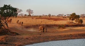 Elefantes que acometen para beber, Tsavo NP del oeste Kenia África Imágenes de archivo libres de regalías