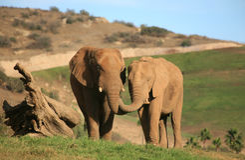 Elefantes que alimentam-se Imagem de Stock Royalty Free