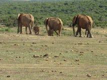 Elefantes que andam em uma linha Foto de Stock Royalty Free
