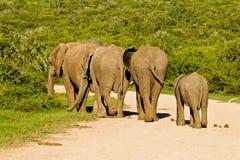 Elefantes que andam no arbusto grosso Fotografia de Stock