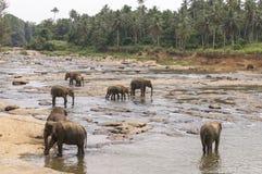 Elefantes que banham-se no rio Foto de Stock Royalty Free