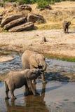 Elefantes que bebem e que jogam na associação de água Fotografia de Stock Royalty Free