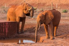 Elefantes que bebem no furo molhando, parque nacional de Tsavo, Kenya Foto de Stock