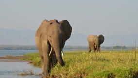 2 elefantes que caminan Fotos de archivo libres de regalías