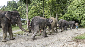 Elefantes que caminan abajo de la trayectoria de la selva Fotos de archivo