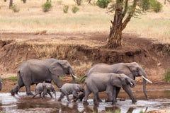 Elefantes que caminan cerca mientras que leones que ocultan detrás de un árbol Fotografía de archivo