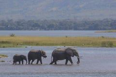 Elefantes que caminan en agua Foto de archivo libre de regalías