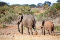 Elefantes que caminan en el paisaje de la sabana Fotografía de archivo libre de regalías