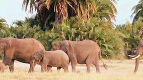 Elefantes que caminan en el parque de Amboseli metrajes