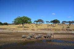 Elefantes que caminan en Tanzania Imagen de archivo