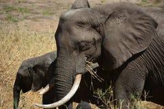 Elefantes que caminan en Tanzania Imagen de archivo libre de regalías