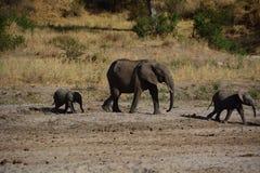 Elefantes que caminan en Tanzania Foto de archivo