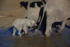 Elefantes que caminan en Tanzania Fotografía de archivo libre de regalías