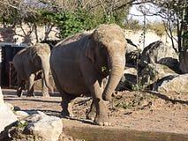 Elefantes que caminan hacia la cámara Imagen de archivo
