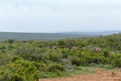 Elefantes que caminan junto en los arbustos fotografía de archivo