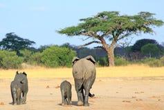 Elefantes que caminan lejos towwards un árbol del acacia en Hwange Foto de archivo libre de regalías