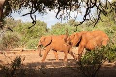Elefantes que caminan, paisaje de Kenia Fotos de archivo libres de regalías