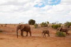 Elefantes que caminan sobre la sabana Fotografía de archivo libre de regalías