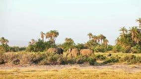 Elefantes que comen la hierba en el parque de Amboseli metrajes