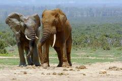 Elefantes que comunicam-se Imagens de Stock Royalty Free