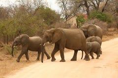 Elefantes que crosing a estrada Fotografia de Stock Royalty Free