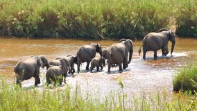 Elefantes que cruzam o rio Foto de Stock Royalty Free