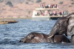 Elefantes que cruzam o rio Fotos de Stock Royalty Free