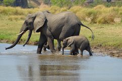 Elefantes que cruzam o rio Imagem de Stock