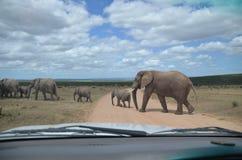 Elefantes que cruzan el camino Imagenes de archivo