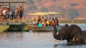 Elefantes que cruzan el río de Chobe mientras que el turista está mirando imagenes de archivo