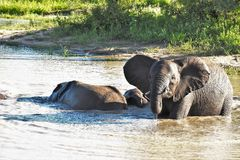 Elefantes que juegan en el agujero de riego Foto de archivo libre de regalías