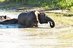 Elefantes que juegan en el agujero de riego Fotos de archivo libres de regalías