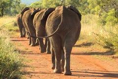 Elefantes que marcham abaixo da estrada Fotografia de Stock Royalty Free