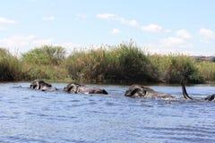 Elefantes que nadam Fotografia de Stock