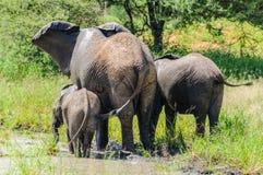 Elefantes que obtêm refrescados no parque de Tarangire, Tanzânia Fotos de Stock Royalty Free