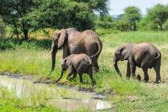 Elefantes que obtêm refrescados no parque de Tarangire, Tanzânia Imagem de Stock Royalty Free