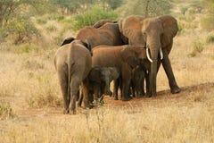 Elefantes que protegem seus jovens Fotografia de Stock Royalty Free
