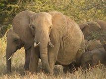 Elefantes que protegen a la familia en el parque nacional Kenia la África del Este de Tsavo en el parque nacional Kenia la África Foto de archivo libre de regalías