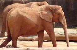 Elefantes que recorren Fotos de archivo