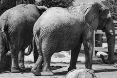 Elefantes que refrigeram fora do calor imagem de stock