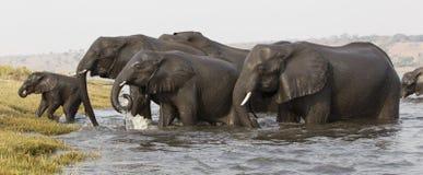 Elefantes que retiram um cruzamento de rio com o elefante novo na parte dianteira Fotografia de Stock Royalty Free