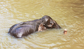 Elefantes que se bañan Imagen de archivo libre de regalías