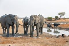 Elefantes que se colocan al lado de un waterhole con el búfalo en el fondo Fotos de archivo libres de regalías